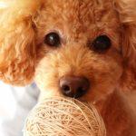 飼いやすい犬ランキング!初心者でも飼育できる種類や値段って?