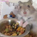 ハムスターの餌のおすすめ!与える頻度や量、食べやすいのは?