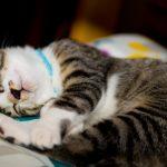猫にものもらいができる原因や対策、病気の症状や治療費の相場は?