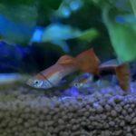 グッピーの稚魚の育て方!隔離する方法・餌や成長時の色の変化は?