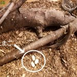 カナヘビの卵の産ませ方や時期、孵化までの管理方法や準備物とは?