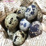 うずらの卵の孵化のさせ方やヒナの育て方!小学生でも簡単にできるの?