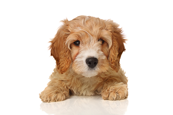 Debonair Dogz – Professional Dog Grooming