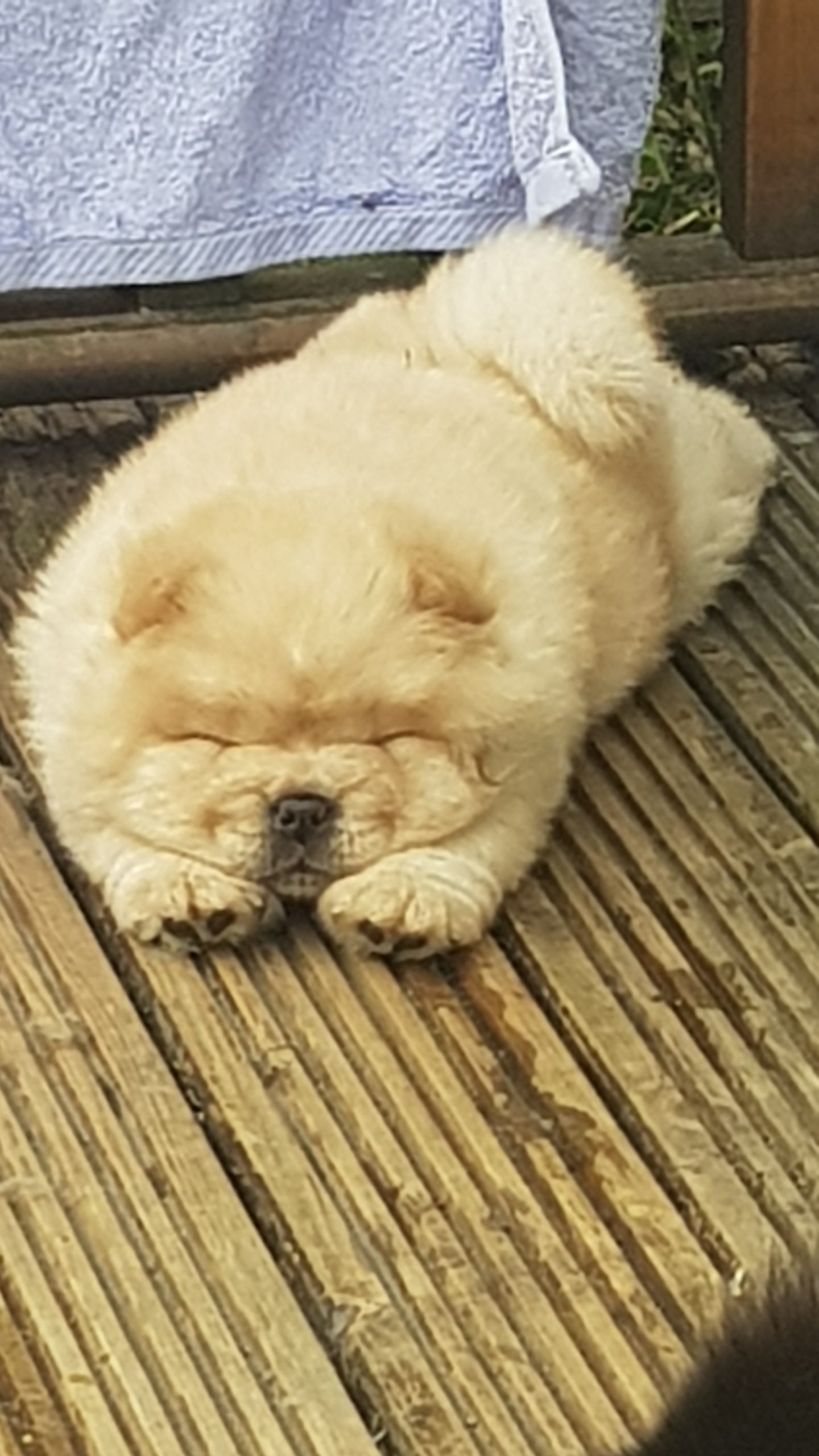Kc chow chow puppies