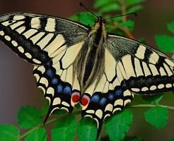 アゲハ蝶 飼育