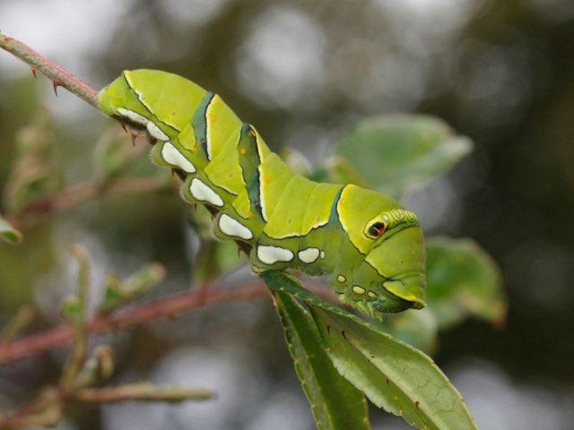 アゲハ蝶 幼虫