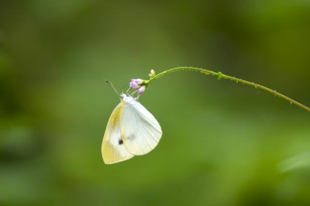 モンシロチョウ 幼虫 飼育