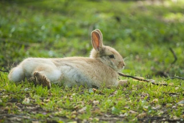 ミニウサギ 性格