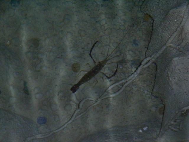 テナガエビ 飼育