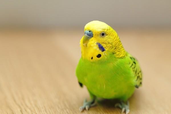 ペット 鳥 おすすめ