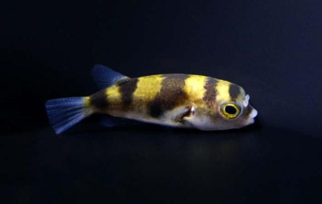 南米淡水フグ 寿命