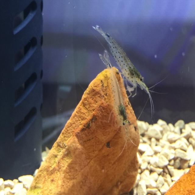 ヤマトヌマエビ 繁殖 寿命 水温 混泳