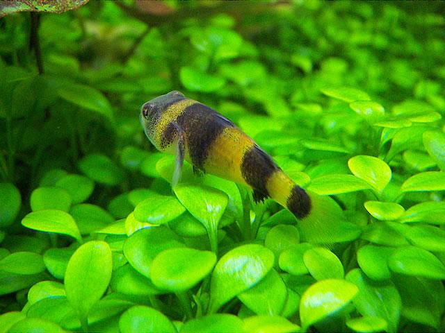 バンブルビーゴビー 混泳 繁殖