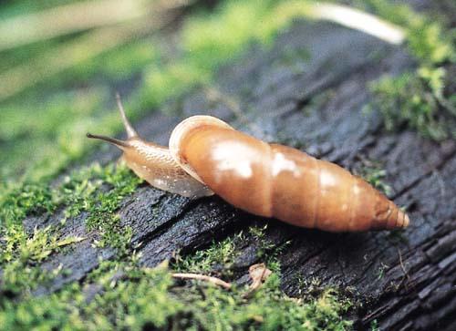 カタツムリ 種類