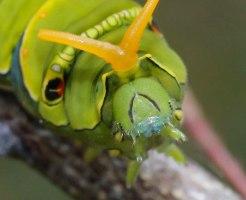 ナミアゲハ 幼虫 飼育