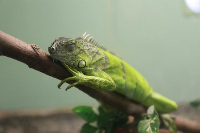 グリーンイグアナ 爬虫類 イグアナ