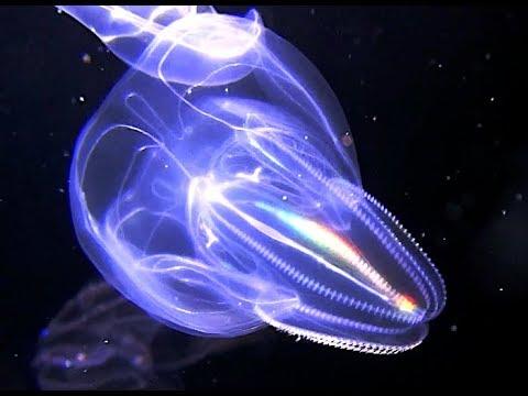 カブトクラゲ 飼育 生態 繁殖