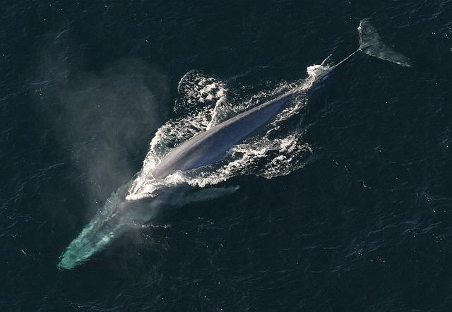 シロナガスクジラ 大きさ 比較 天敵 生息数 鳴き声