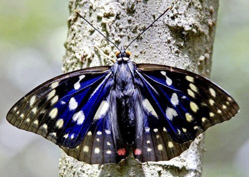 オオムラサキ スズメバチ 越冬 寿命  生態
