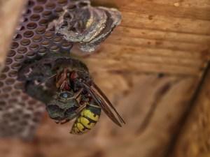 クマバチ スズメバチ 違い 天敵
