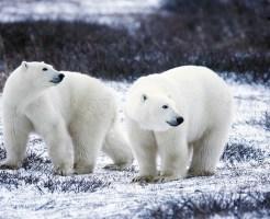 ホッキョクグマ ヒグマ 南極 絶滅危惧種