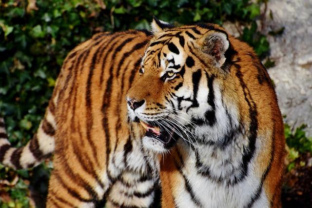 虎 尻尾 役割 飼育 種類 性格