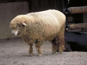 羊 ペット しっぽ 目 数え方