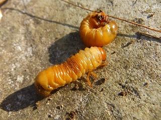 コガネムシ 幼虫 見分け方 生態 特徴 大きさ 時期
