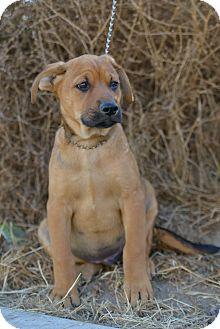 Rhodesian Ridgeback Shepherd Mix : rhodesian, ridgeback, shepherd, Cajon,, German, Shepherd, Adoption.