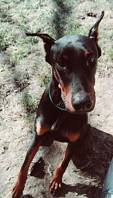 Doberman Puppies Nc : doberman, puppies, Benson,, Doberman, Pinscher., Xander, Adoption.