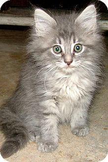 Maine Coon Kittens For Sale Tn : maine, kittens, Chattanooga,, Maine, Coon., Fluff, Adoption.