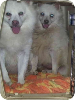 American Eskimo Dog/Pomeranian Mix Dog for Sale in Shoreline, Washington - Watsi/STOLEN