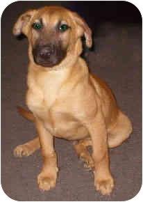Rhodesian Ridgeback German Shepherd Mix Puppy : rhodesian, ridgeback, german, shepherd, puppy, Vista,, German, Shepherd, Brownie, Adoption.