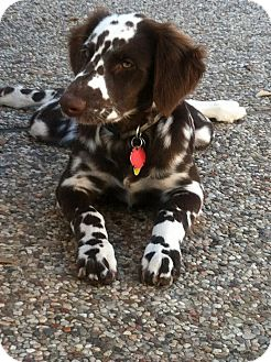 Long Haired Dalmatian Puppy For Sale : haired, dalmatian, puppy, Dalmatian, Puppy, Texas, PetsWall