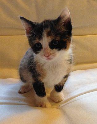 Calico Kittens For Sale Near Me : calico, kittens, Calico, Kitten, Adoption, Guide