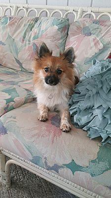Pomeranian Breeders Mn : pomeranian, breeders, Lakeville,, Pomeranian., Charlie, Adoption.