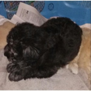 Exciting Co Meet Betsy A Dog Newfoundland Poodle Mix Ontario