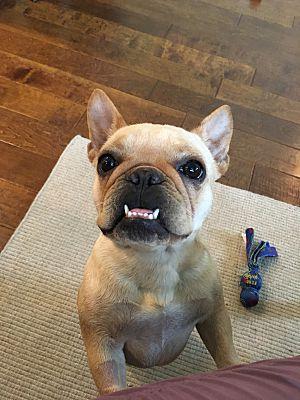 AKC French Bulldog | Duncan French Bulldogs | Columbus Ohio