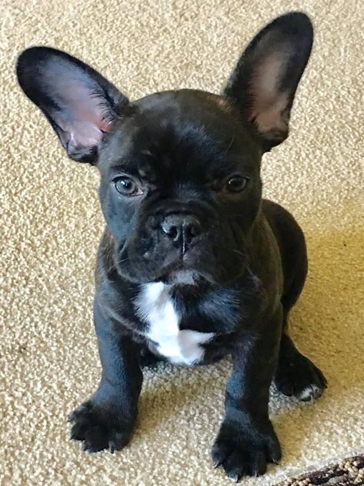 French Bulldog For Sale Columbus Ohio : french, bulldog, columbus, Columbus,, French, Bulldog., Oliver, Adoption.