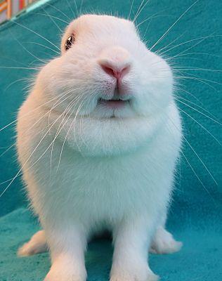Dwarf Rabbits Near Me : dwarf, rabbits, Culver, City,, Dwarf., Smiley, Bunny, Adoption.