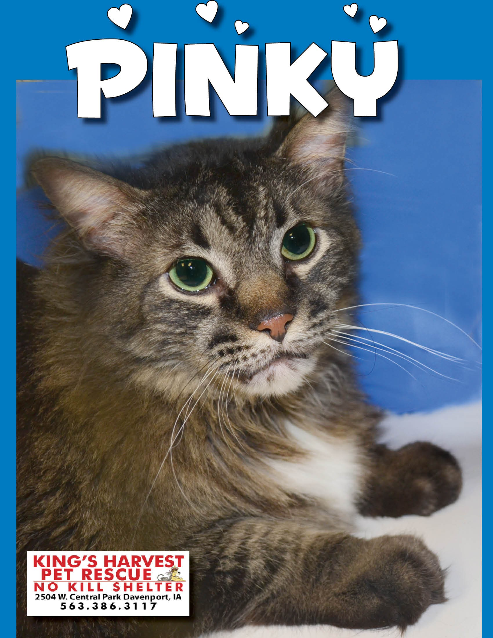 Maine Coon Cats For Sale In Iowa : maine, Davenport,, Maine, Coon., Pinky, Adoption.