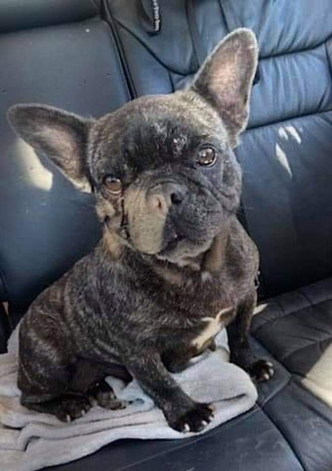 French Bulldog For Sale Columbus Ohio : french, bulldog, columbus, Columbus,, French, Bulldog., Adoption.