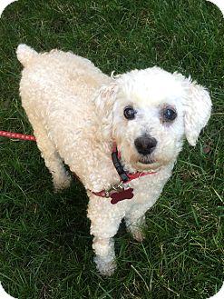 Toy Poodles For Sale In Richmond Va : poodles, richmond, Richmond,, Poodle, Cup)., Wyatt, Adoption.