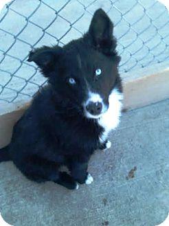 Kirkland WA Border Collie Meet Hendricks A Pet For