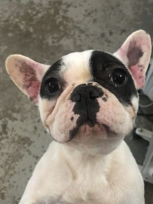 French Bulldog For Sale Columbus Ohio : french, bulldog, columbus, Columbus,, French, Bulldog., Niu-female, Adoption.