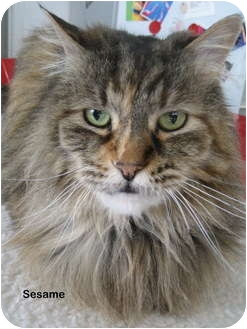 Maine Coon Rescue Where to Look? - Mainecoon Companion