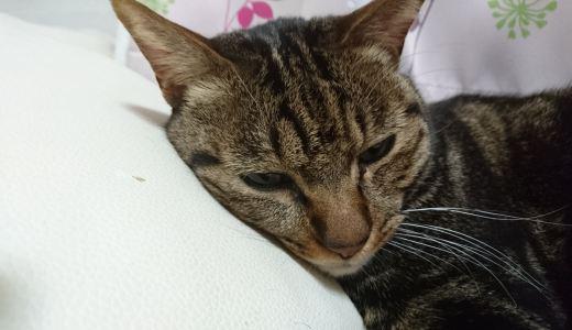 猫が喘息になる原因や日頃から気をつけたい生活習慣