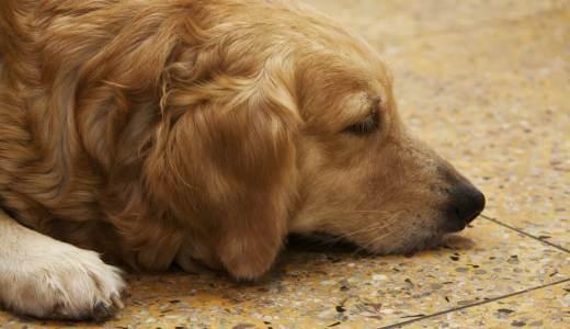 犬が外耳炎になる原因とは?かかりやすい犬種や治療法を解説!