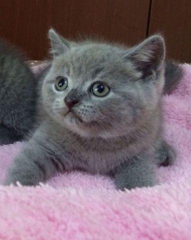 (已過期) 純種英短全藍4- 英國短毛貓, 買動物 | Zone One Zone - 寵物推介