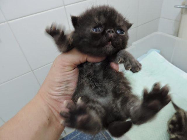 (已轉讓) Buddy仔和啡虎女(檬檬)的新一胎異國- 異國短毛貓, 買賣 | Zone One Zone - 寵物推介